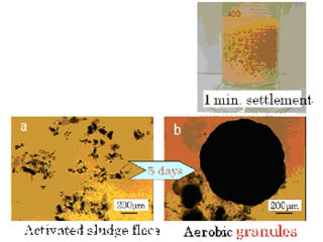 an examination of the characteristics and mechanism of aerobic granules Disintegrated aerobic granules (dag) as an effective biosorbent had great potential to remove cu(ii) from aqueous solution the effects of solution ph value, contact time, initial cu(ii) concentration on the biosorption were investigated.